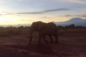 Elephant in the morning at the foot of Kilimanjaro